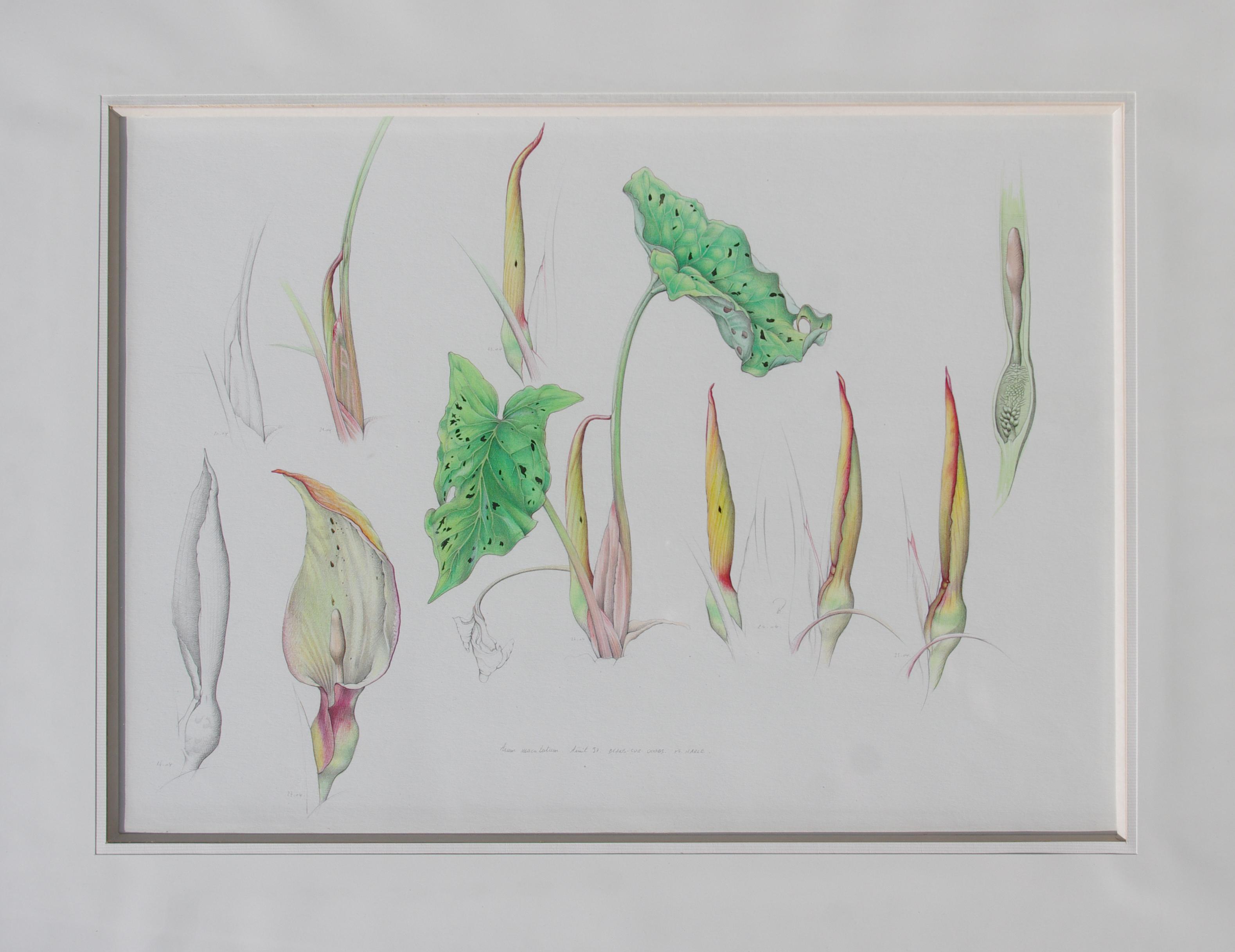 Arum maculé